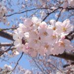 桜の季節がやってきた♪
